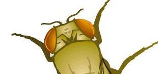 Drosophila wild type