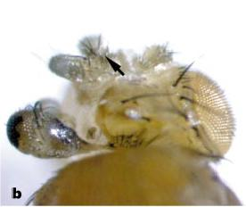 Hsp90 reduced expression in drosophila