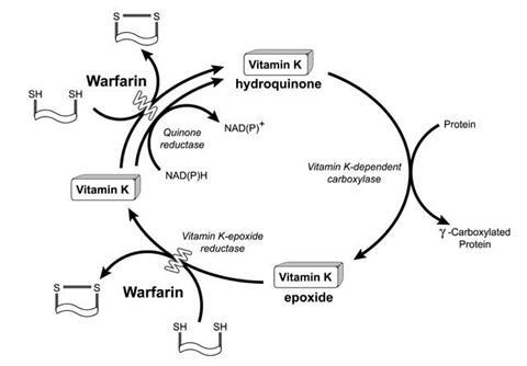 k vitamin waran